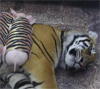 Tiger with piggies