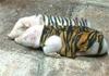 Piggies and tiger