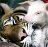 Tiger and pig cuddle