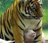 More tiger and piggies